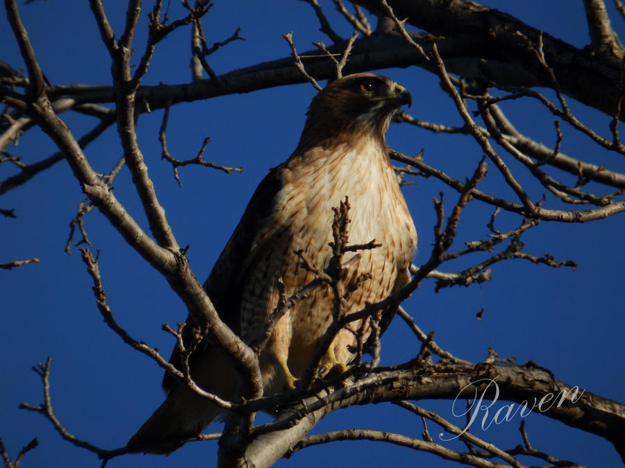 Hawk 1 by GothicRavenMidnight