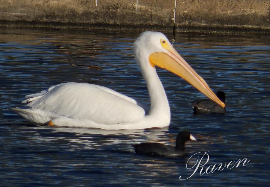 Pelican by GothicRavenMidnight