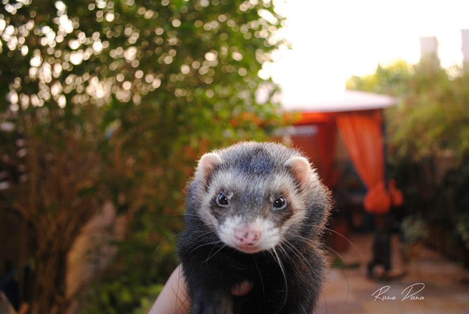 My ferret Ducker. by RunaDuna