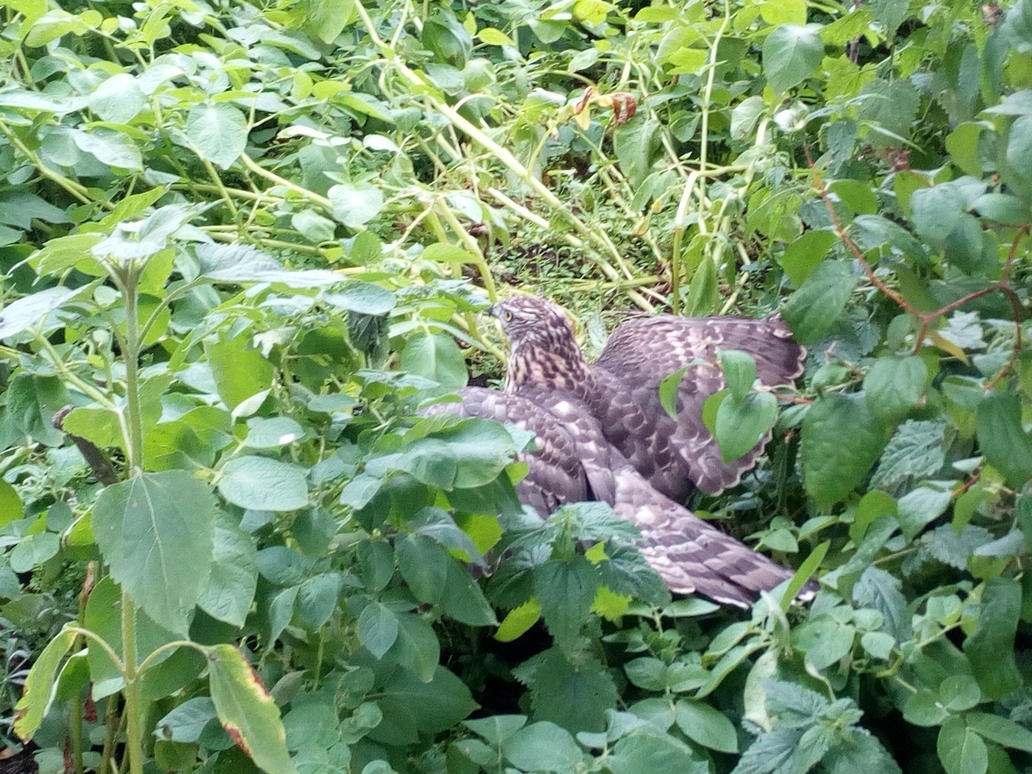bird of prey 2 by alextheviking