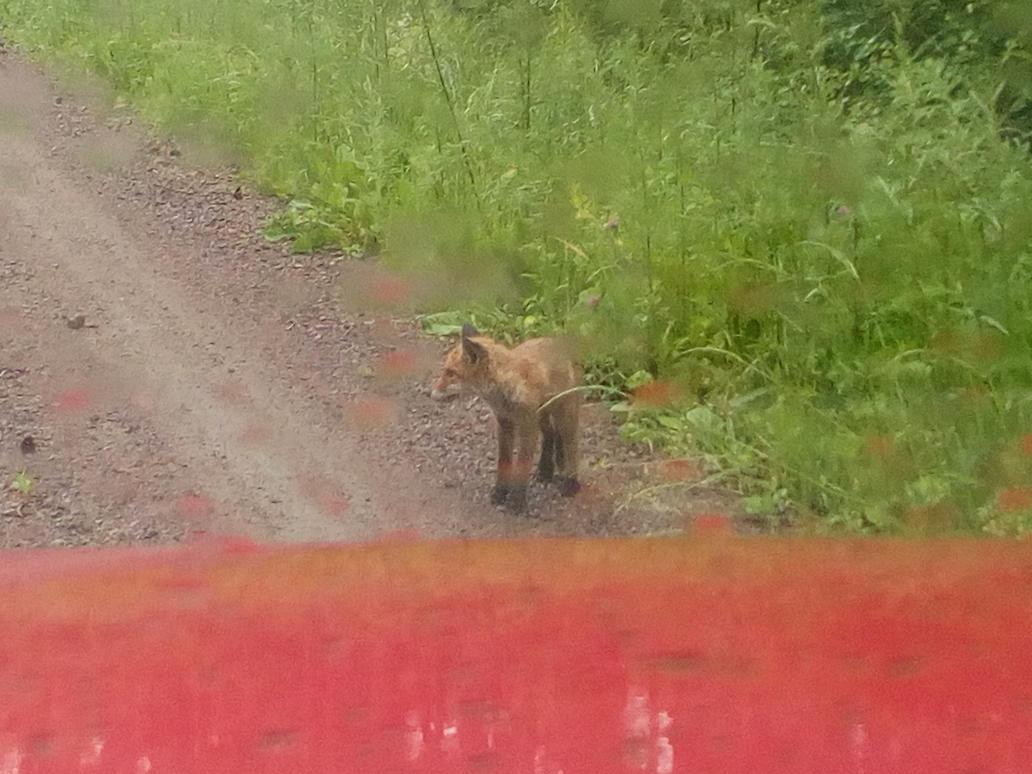 Fox cub by alextheviking
