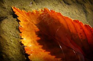 Autumn Leaf by cosminpetrisor