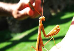 Praying Mantis by cosminpetrisor