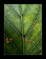 :: Aesculus Hippocastanum ::