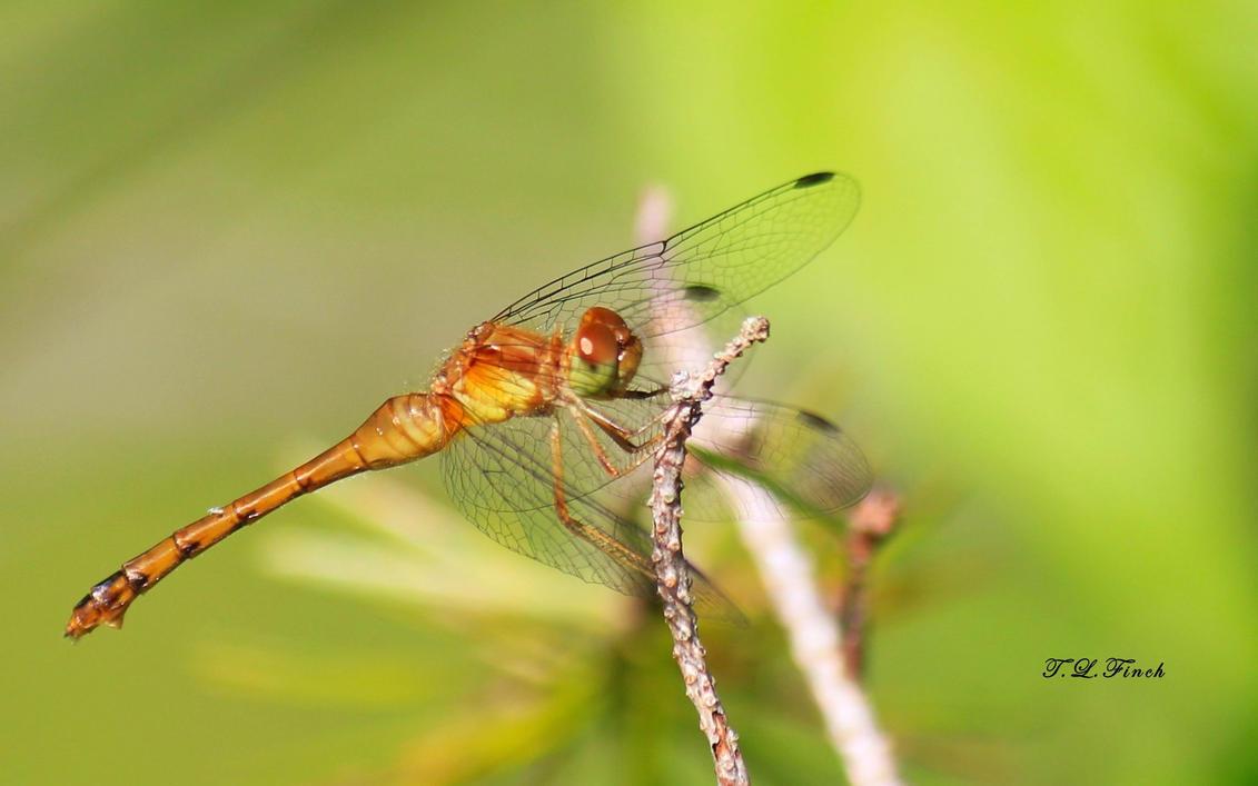 Dragon Fly by TLFinch
