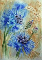 cornflowers by danuta50