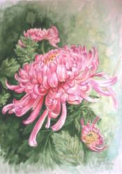 chrysanthemums by danuta50