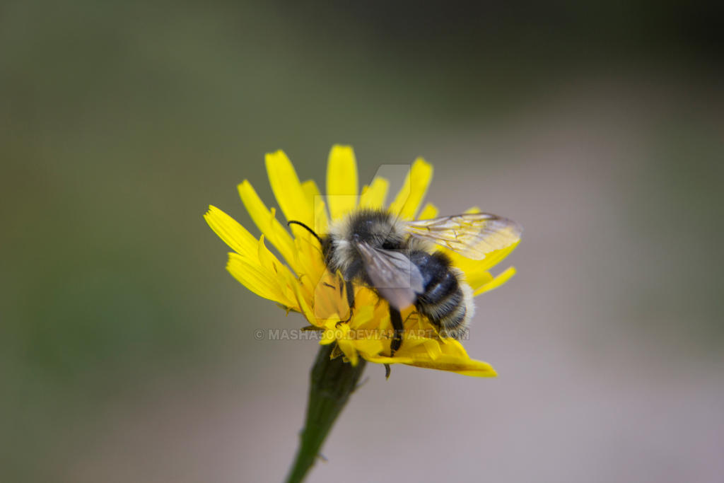 IMG 1573n  Bee on a flower by masha500