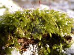 moss in sun and snow