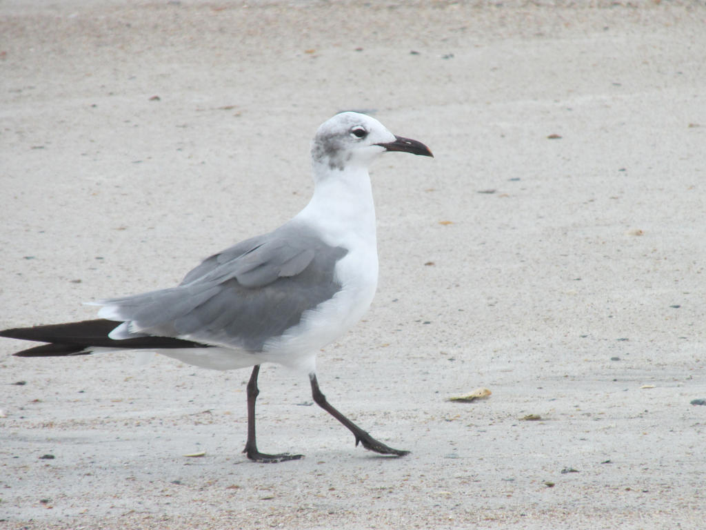 Little gull by ninjagiraffes234
