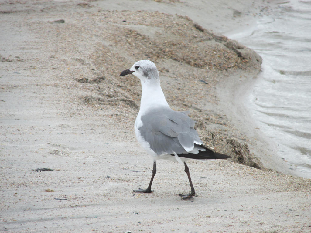 One more seagull picture by ninjagiraffes234