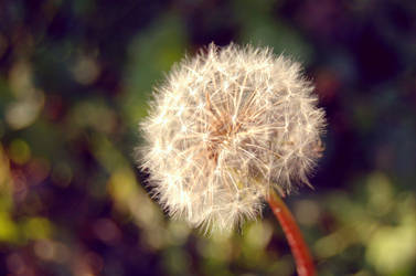 Last dandelion by emmaaii