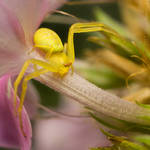 Crab Spider on Garden Phlox 02