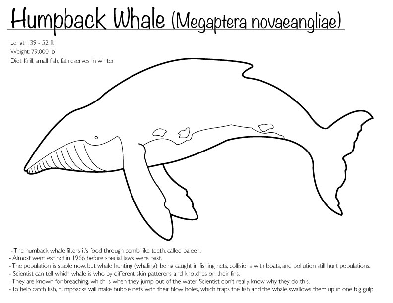 humpback whale coloring pages - photo#8