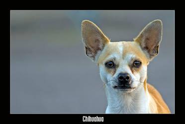 Chihuahua by livinginoblivion