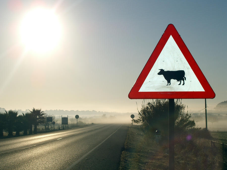 Danger cow signal in the fog
