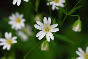 Greater stitchwort by hairycheesecake