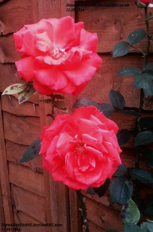 Garden Roses by SkywalkerGirl666