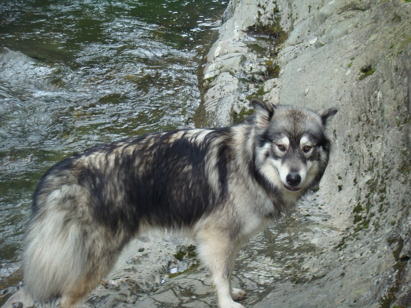 Hybrid Wolf Husky Images & Pictures - Becuo