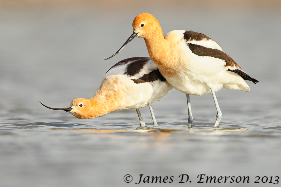 American Avocet Courtship by jamesjde