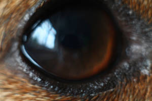 Jack Russell Eye Close Up by todaywiththeCJB