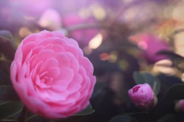 Pink Ranunculus 1