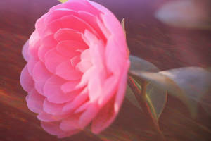 Pink Ranunculus 3 by todaywiththeCJB