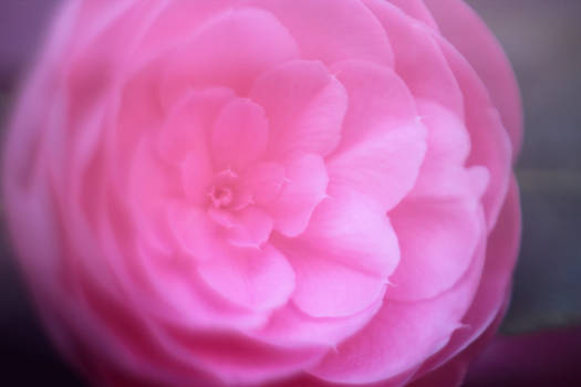 Pink Ranunculus 5