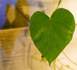 Heart Leaf Vine: Morning Glory