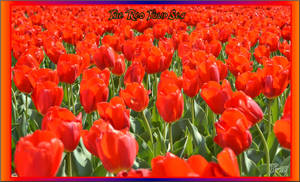 The Red Tulip Sea by Taures-15