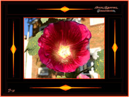 Star Centered Hollyhock by Taures-15