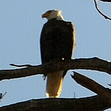 Eagle Profile Crop 1 by Taures-15