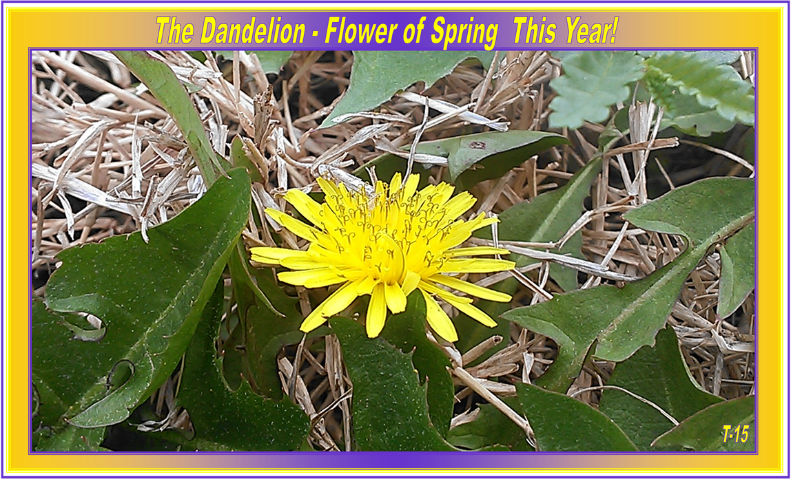 Dandelion2015 by Taures-15