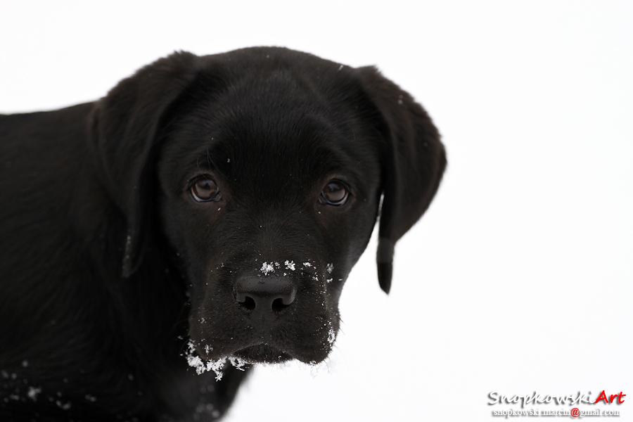 Labrador Retriever - Pagani by SestoElemento
