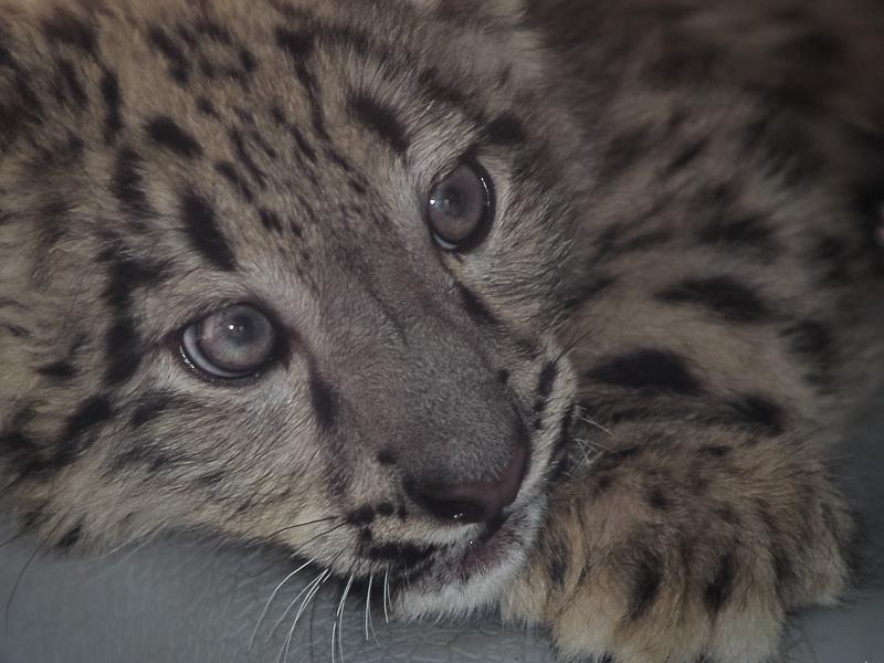 Potter Park: Snow Leopard II by j-ouroboros