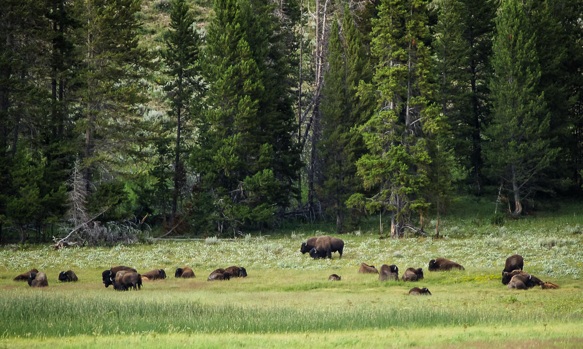 bison chat sites The american prairie reserve is seeking to expand bison grazing on 17 grazing allotments totaling 236,239 acres in chat support chat support support support.