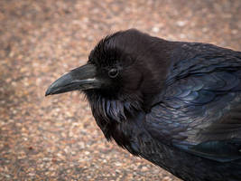 Petrified Forest: Raven