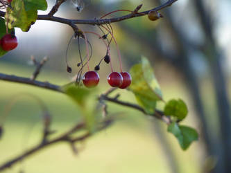 Three Red Berries by awcook333