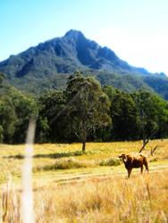 Mt Barney Cow