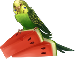 Budgiemelon
