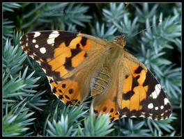 Painted Lady by Ingelore