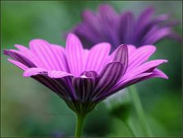 deep purple by Ingelore