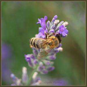 lavender honey by Ingelore