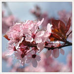 spring is pink