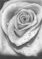 Rose by MayumiOgihara