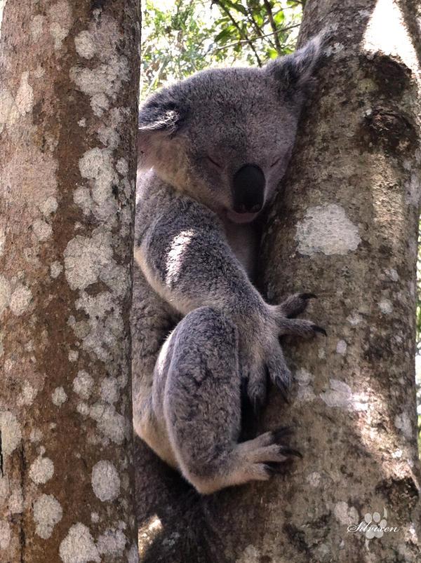 Koala by Silvixen