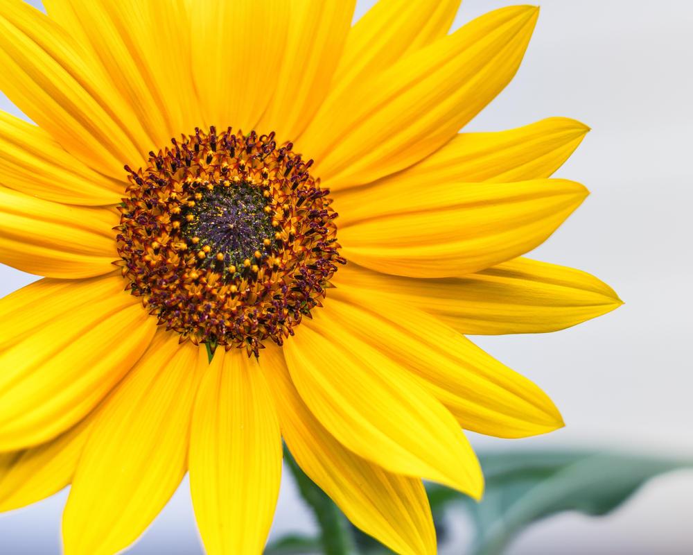 Sunflower by DeTea