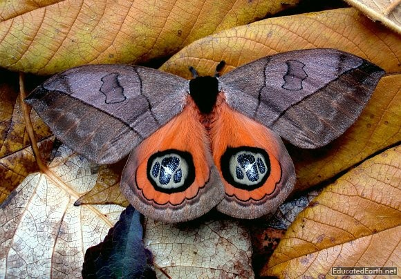 Automeris Moth by EducatedEarth