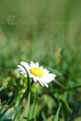 Spring Daisy by RowanLewgalon