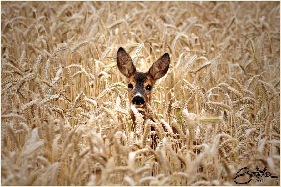 Fawn in the grain field by brijome